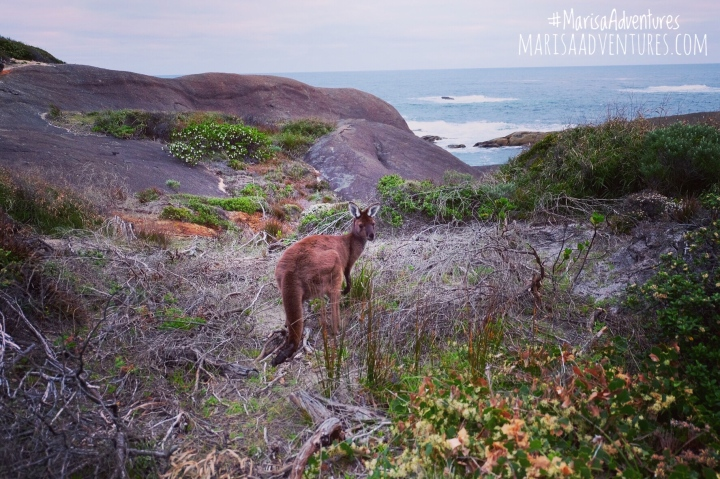 Denmark-Kangaroo